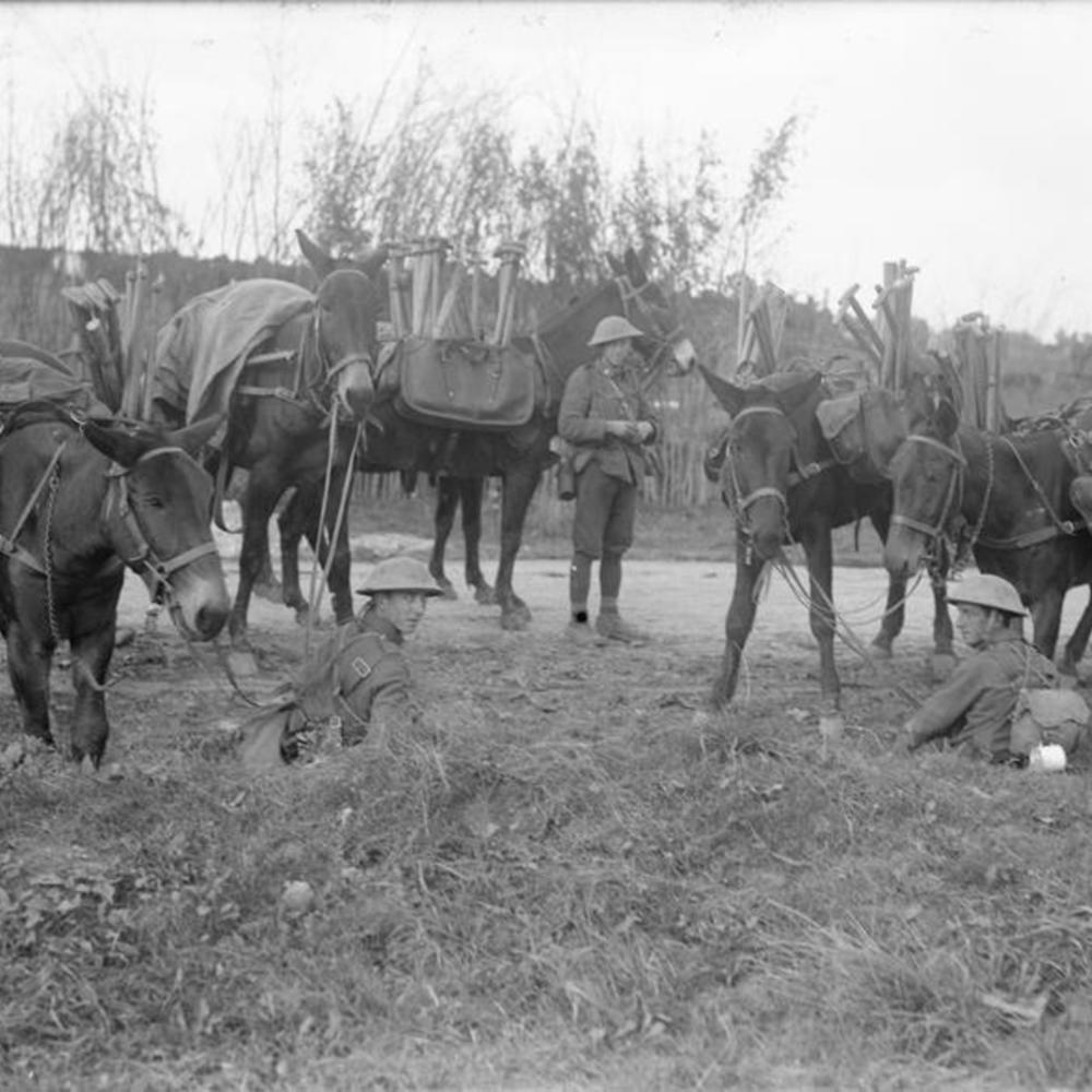 [Mules équipées de selles spéciales pour porter des pelles. Bois d'Aveluy]