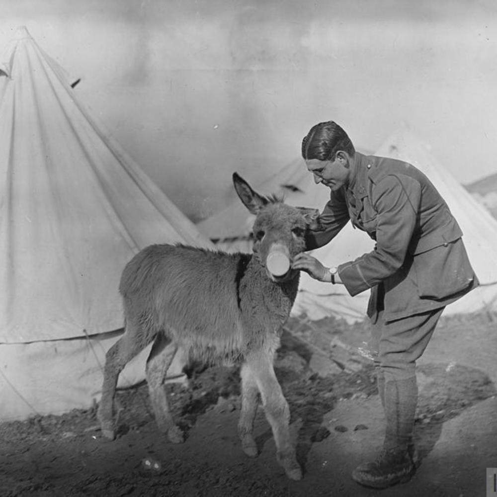 [Tiny, un petit âne trouvé mourant sur une route par la 26ème division]