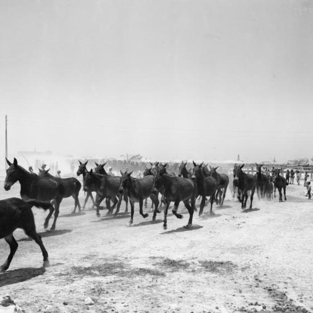 [Entrainement de mules pour qu'elles se déplacent en formation militaire même sans filet. Depot n°2 des remontes, 44ème escadron,  Egypt]