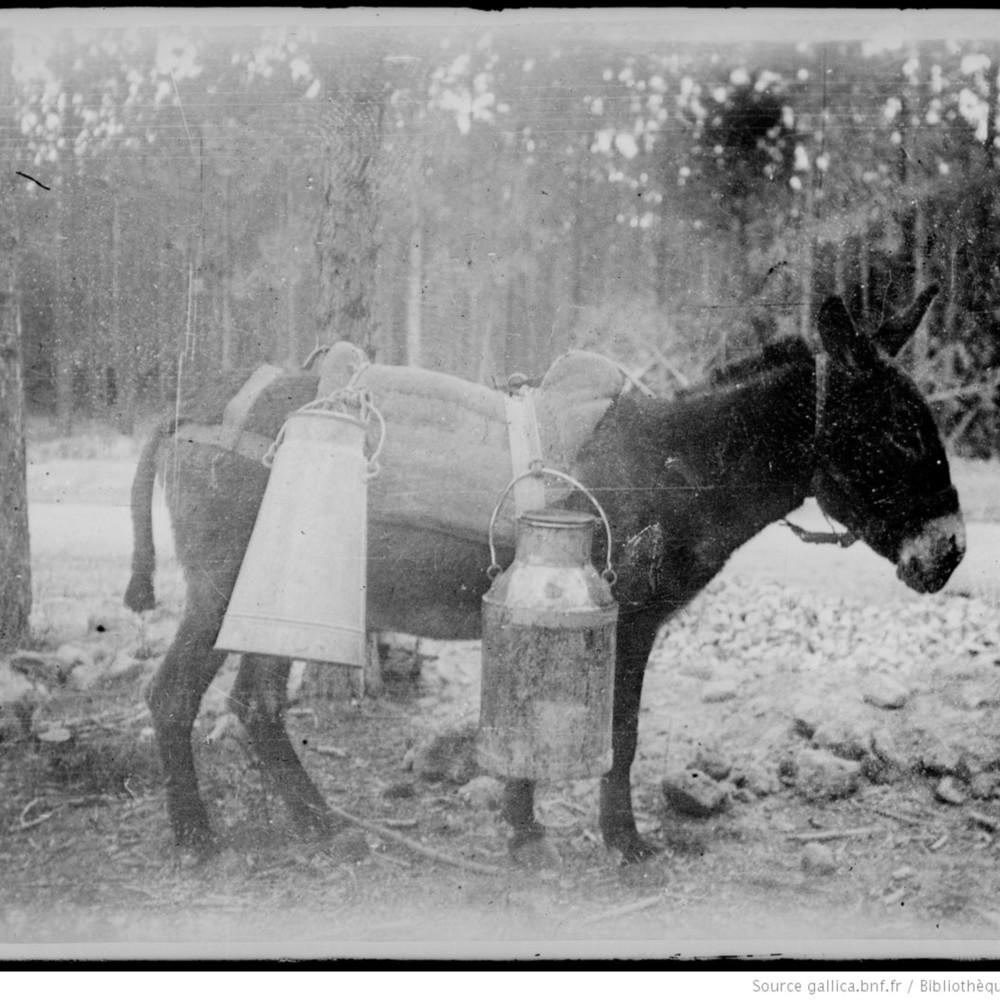 Petit âne d'Afrique avec son chargement pour le ravitaillement en première ligne : [photographie de presse]